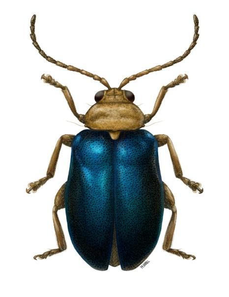 Flea Beetle sp. by Maayan Harel