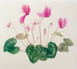 Cyclamen by Nellie Sue Potter