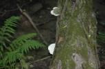 White Cheese Polypore (Tyromyces chioneus) - Photo by Karen Logan