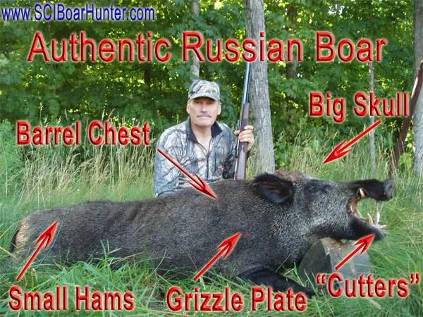 Giant Russian Boars