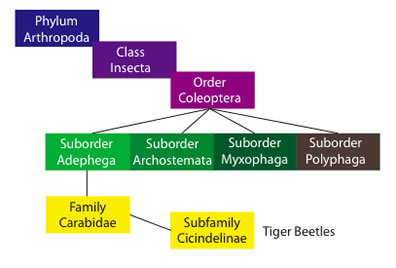 tiger beetle phylogeny