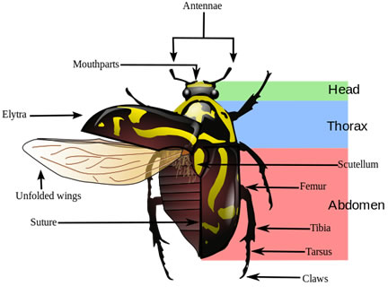 beetle anatomy