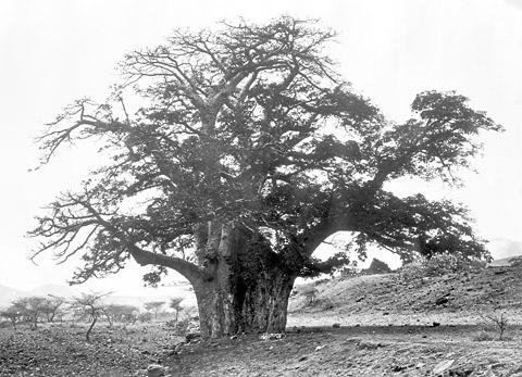 Baobab tree in Cape Verde
