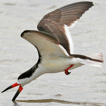 black skimmer fishing