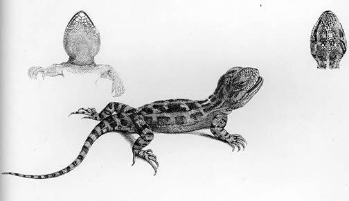 Darwin's Iguana