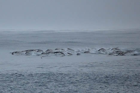 Southern rightwhale dolphins