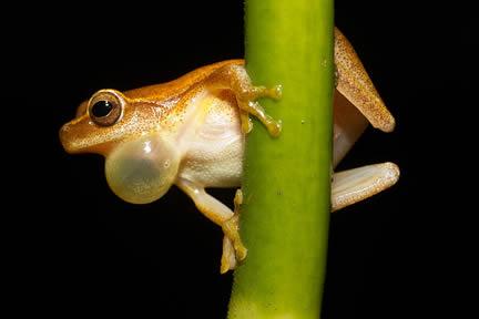 Frog vocal sac