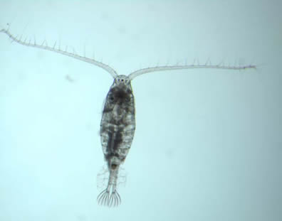 Diatomus