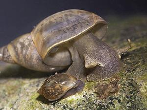 Lymnaea sp.