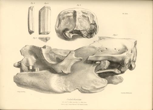 Scelidotherium bones