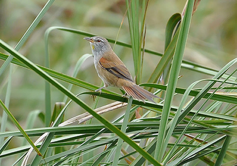 Sulfur-bearded spinetail