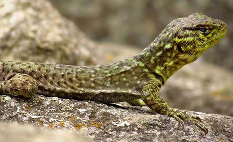 spiny whirltail iguana