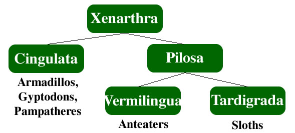 Xenarthra taxonomy