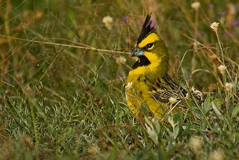 Yellow cardinal