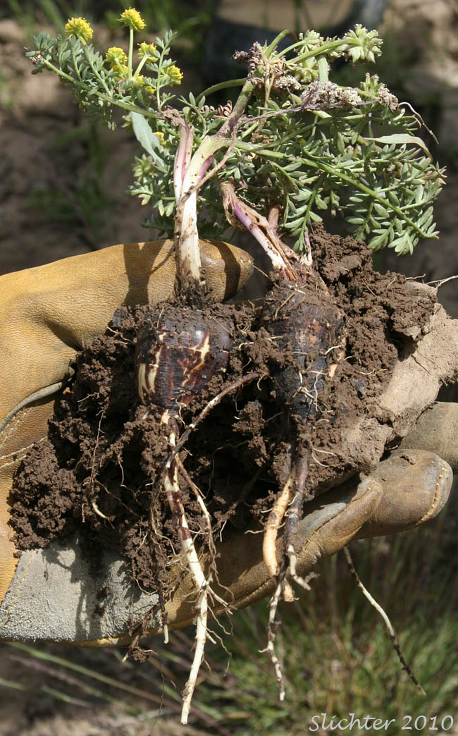 Cous Cous Biscuitroot Cous Root Desert Parsley Lomatium