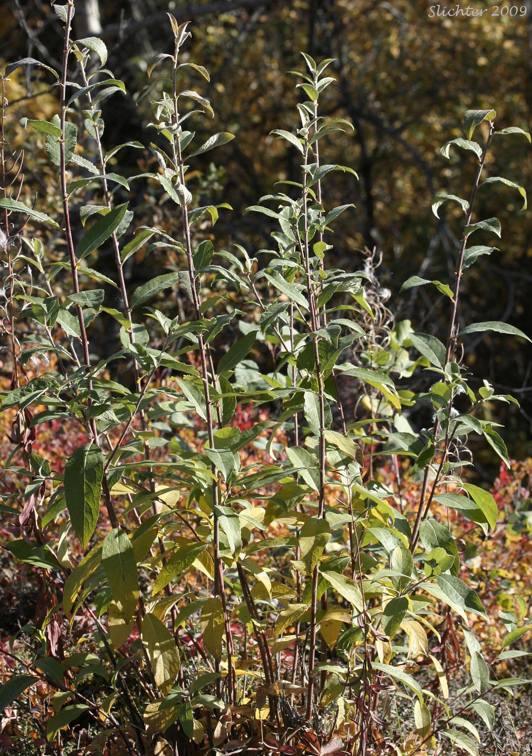 Alaska Willow Felt Leaf Willow Salix alaxensis