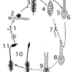 Life Cycle Of A Labeled Moss Diagram Team Handball Court Tutorial