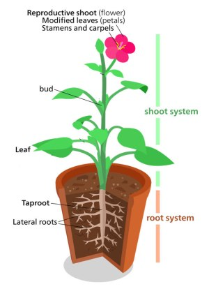 Plant Structure  (Information  Fun Facts)  Science4Fun