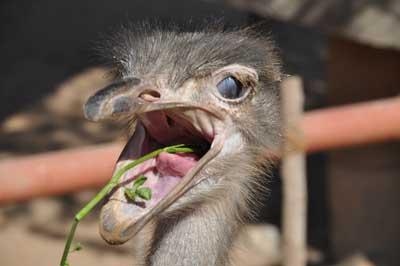 Ostrich: (Facts + Diet + Habitat) - Science4Fun