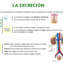 Excretory System Diagram Labeled Pioneer Deh 1300mp Wiring Science For 6th Grade