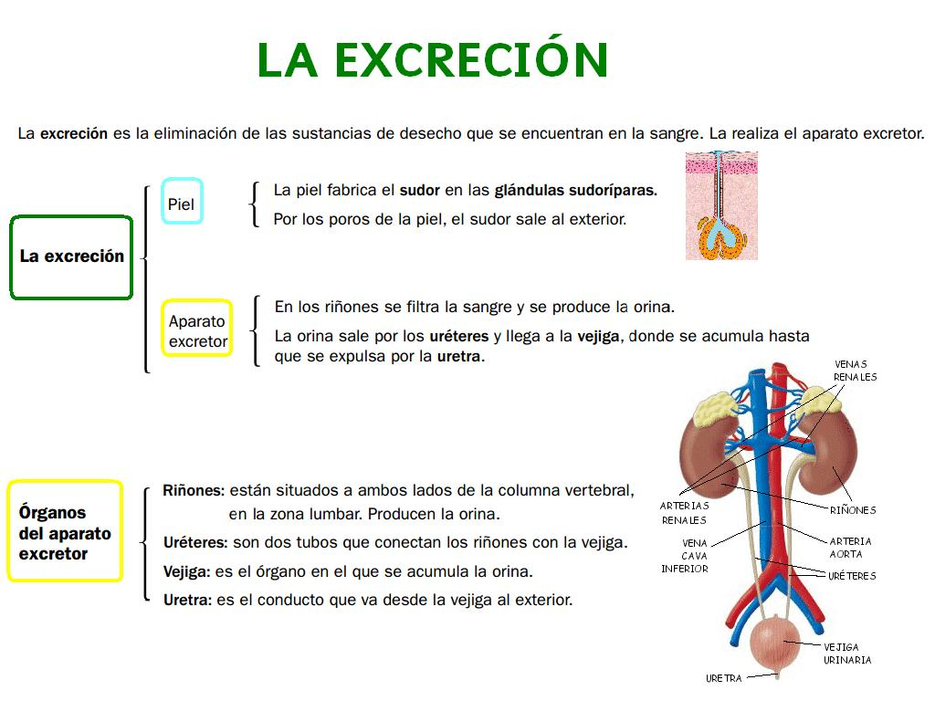 excretory system diagram basic craftsman pressure washer human body science for 6th grade page 2