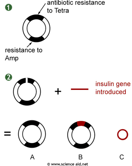 Genetic Engineering, sticky ends using plasmids and
