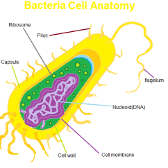 Bacteria Structure Diagram 3 Pole Contactor Wiring Types And Of Scienceaid