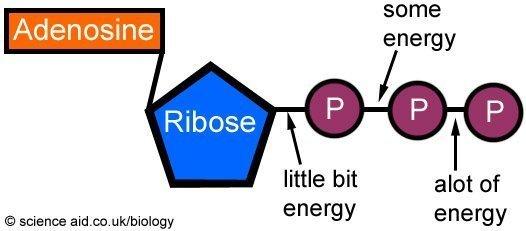 adp molecule diagram labeled dewalt table saw parts energy and exercise - scienceaid