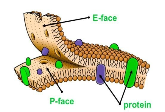 diagram of fluid mosaic model cell membrane fasco motor wiring the plasma gateway to scienceaid containing phospholipids and proteins