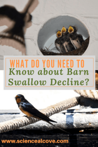 What do you Need to Know about Barn Swallow Decline-https://sciencealcove.com/2014/08/decline-barn-swallows/
