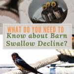 What do you Need to Know about Barn Swallow Decline?