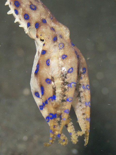 Blue-Ringed Octopus Hapalochlaena lunulata; Elias Levy, CC BY 2.0, via flickr