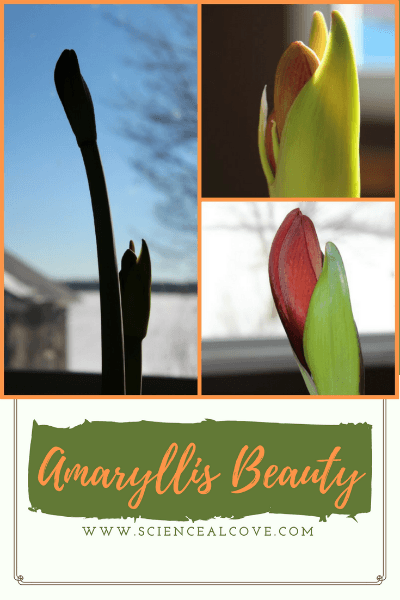 Amaryllis are a beautiful Christmas plant but make an attractive addition to your home anytime you can get a hold of their bulbs. #amaryllis #amaryllischristmas #amaryllisarrangement