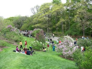 https//upload.wikimedia.org/wikipedia/commons/b/b5/Lilac_Sunday%2C_Arnold_Arboretum%2C_Jamaica_Plain_MA.jpg
