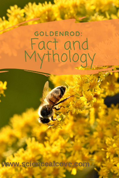Goldenrod:  Fact and Mythology