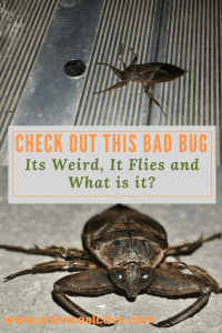 Check out this Bad Bug. Its Weird, It Flies and What is it-http://sciencealcove.com/2016/05/check-out-this-bad-bug-its-weird-it-flies-and-what-is-it/