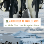 20 Absolutely Adorable Facts to Make you Love Penguins More