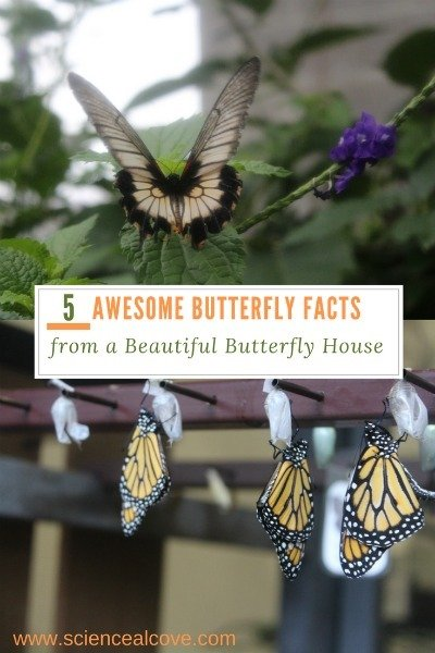 5 Awesome Butterfly Facts from a Beautiful Butterfly House - https://sciencealcove.com/2017/03/5-cool-facts-learned-at-the-cambridge-butterfly-conservatory/
