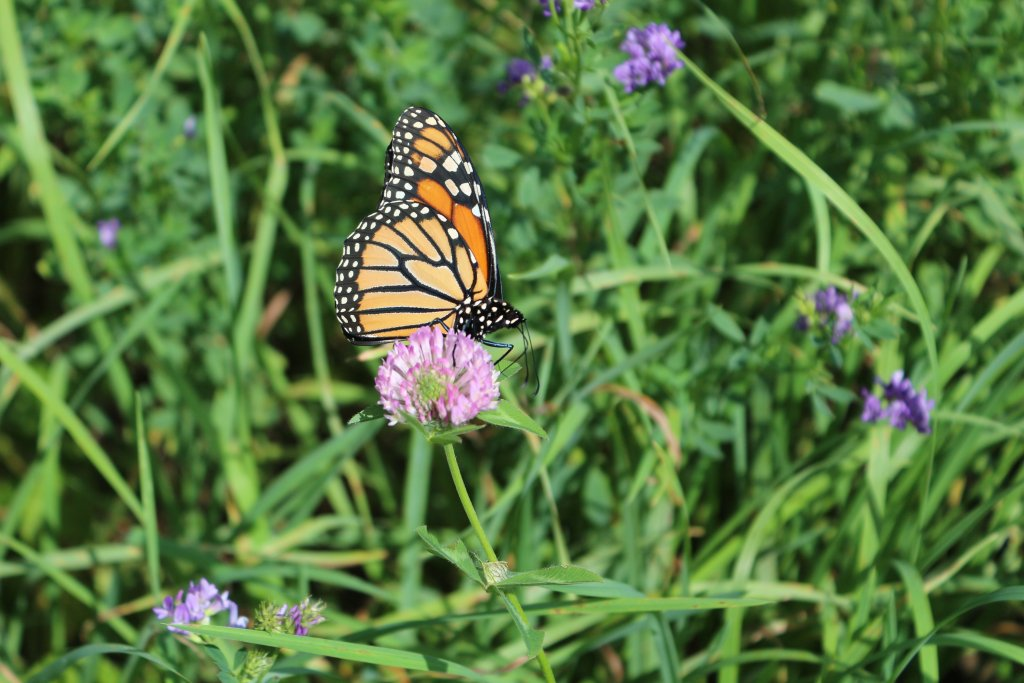 How in the World do Beautiful Monarch Butterflies Migrate?