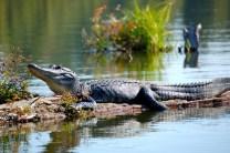 Alligator by jc.winkler. Flickr. (CC BY 2.0)