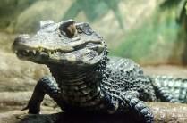 Alligator by CarmenQueasy. Flickr. (CC BY 2.0)