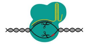 CRISPR-CAS9 Gene editing tool