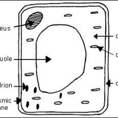 Plant Cell Diagram Animal Simple Drawing Cat5e Wiring Rj45 Wall Plate Scienceathawthorn And Cells