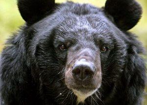 southeast-asian-bear2-lg