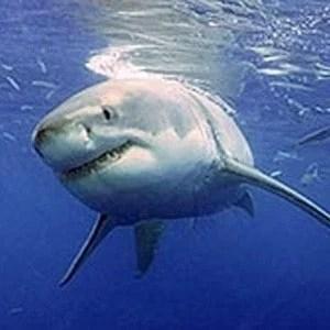 Stealh secrets of sharks revealed