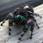 A jumping spider (not the vampire, though)