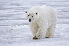 Observing Polar Bears from Space