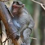 Monkeys put off sex by bystanders