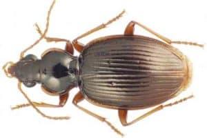 Entomologist discovers 14 new beetles in Tahiti