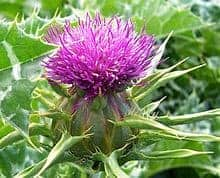 220px-Milk_thistle_flower